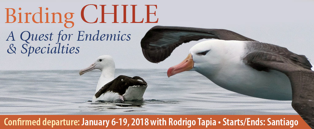Chile Birding Tours, Birding Chile, A Quest for Endemics & Specialties - January 6-19, 2018