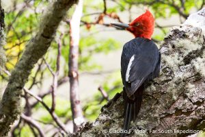 Magellanic Woodpecker, Campephilus magellanicus © Claudio F. Vidal, Far South Exp