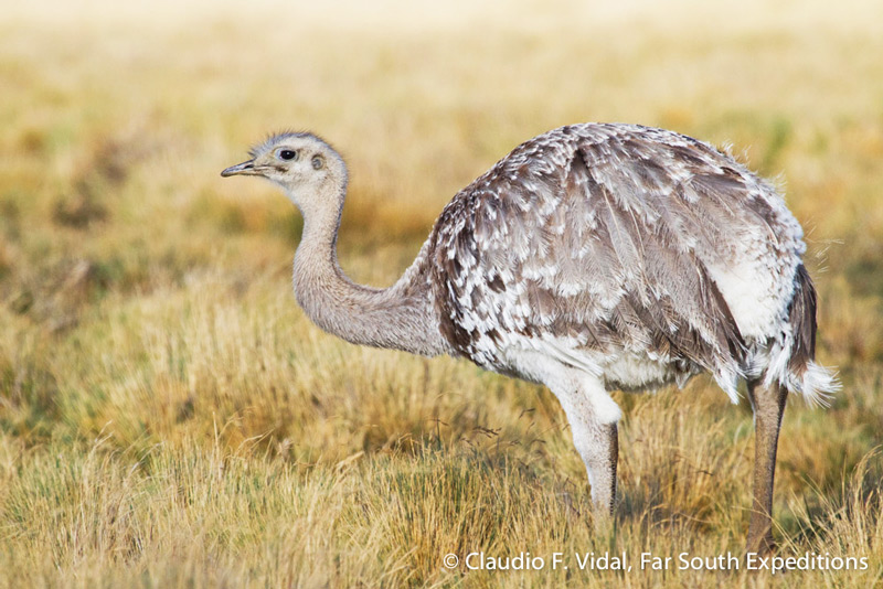 Lesser (Darwin's) Rhea, Rhea pennata © Claudio F. Vidal, Far South Exp