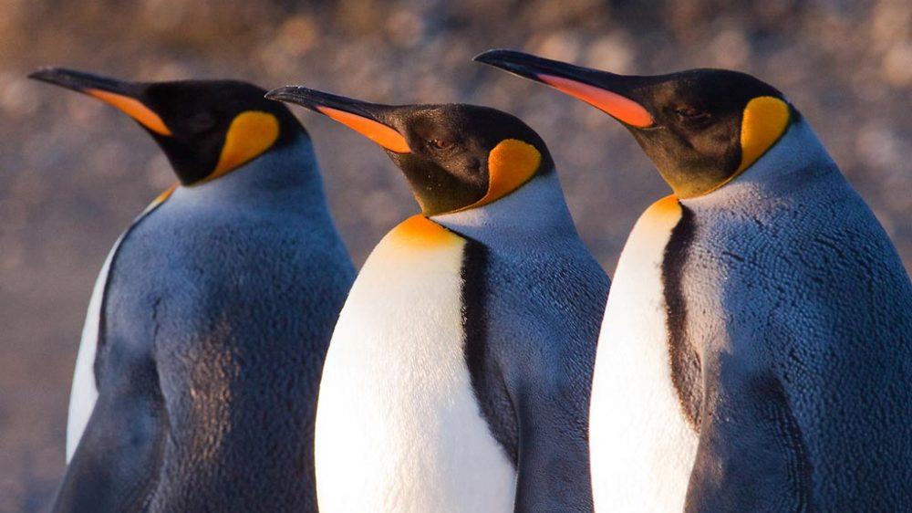 King Penguins (Aptenodytes patagonicus), Useless Bay, Tierra del Fuego, Chile © Claudio F. Vidal, Far South Exp