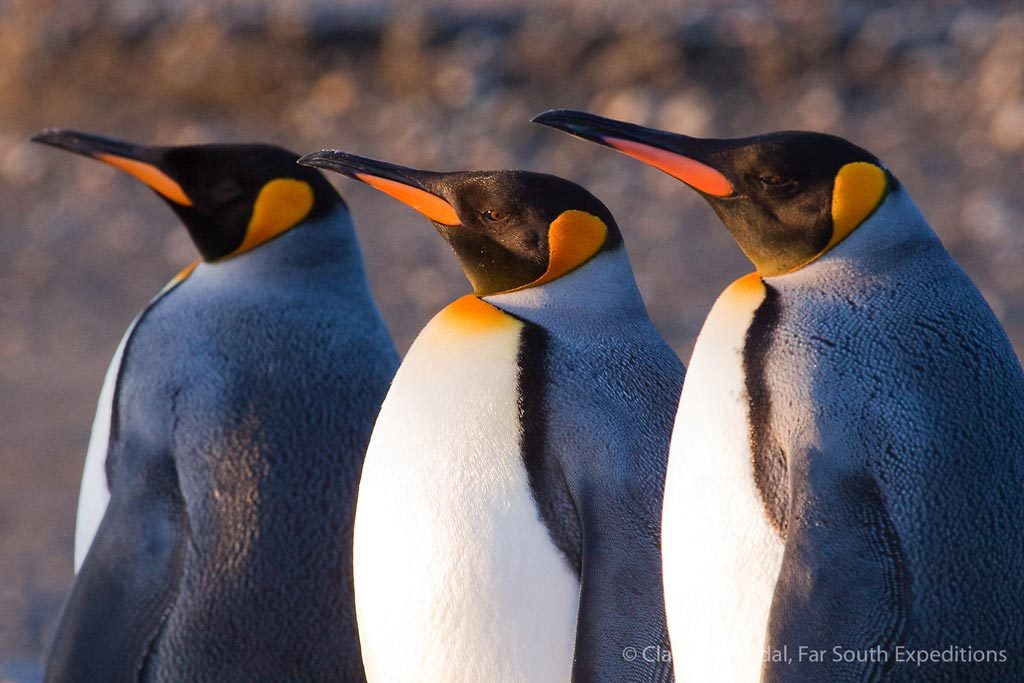 King Penguins (Aptenodytes patagonicus), Useless Bay, Tierra del Fuego, Chile © Claudio F. Vidal, Far South Exp