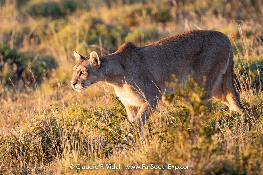 Puma tracking tours   Pumas of Torres del Paine   Far South Exp