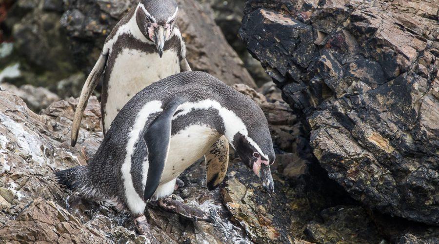 Humboldt Penguins, Chiloé Island, Chile