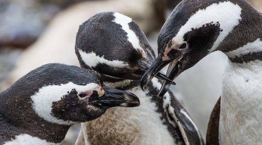 Bill-to-bill penguin greeting
