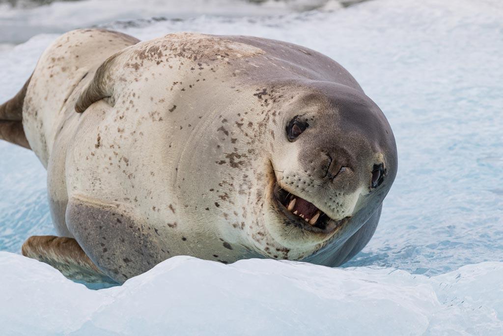 подходит фото морского леопарда вас противень большего