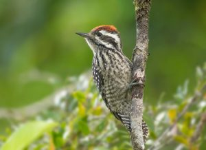 Striped Woodpecker, Veniliornis lignarius © Bastian Gygli, Far South Exp