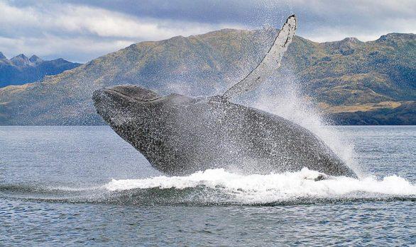 Breaching Humpback Whales (Megaptera novaengliae), Carlos III Island, Chile © Whale Sound
