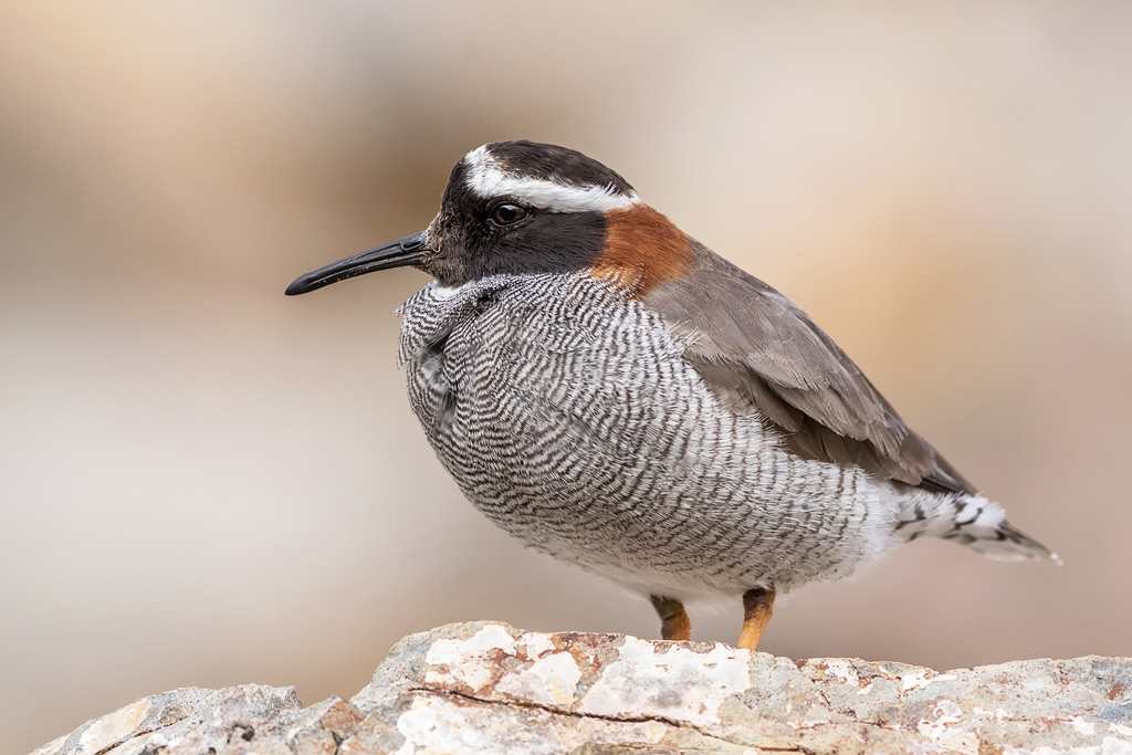Diademed Sandpiper-Plover (Phegornis mitchellii) © Jorge Valenzuela, Far South Exp