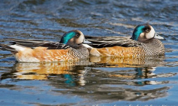 Chiloe Wigeon (Anas sibilatrix), Chile © Enrique Couve, Far South Exp
