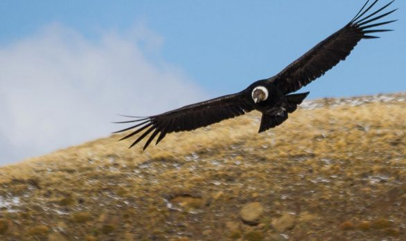 Andean Condor (Vultur gryphus), Farellones, Chile © Rodrigo Tapia, Far South Exp