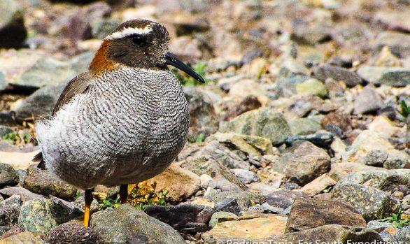 Diademed Sandpiper-Plover, Phegornis mitchellii © Rodrigo Tapia, Far South Exp