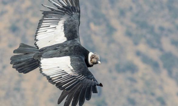 Andean Condor (Vultur gryphus), Farellones, Chile © Jorge Valenzuela, Far South Exp