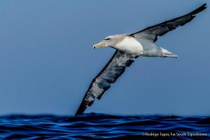 Salvin's Albatross off Valparaiso, Chile © Rodrigo Tapia, Far South Exp