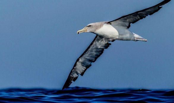 Salvin's Albatross off Valparaiso, Chile © Rodrigo Tapia, Far South Exp
