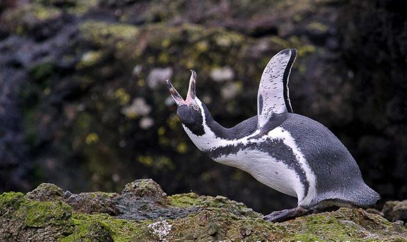 Humboldt Penguin (Spheniscus humboldti), Chile © Claudio F. Vidal, Far South Exp