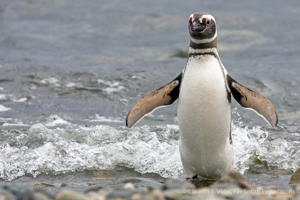 Magellanic Penguin (Spheniscus magellanicus), Magdalena Island, Chile © Claudio F. Vidal, Far South Exp