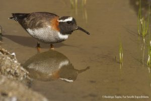 Diademed Sandpiper-Plover, Photo ©Rodrigo Tapia, Far South Exp
