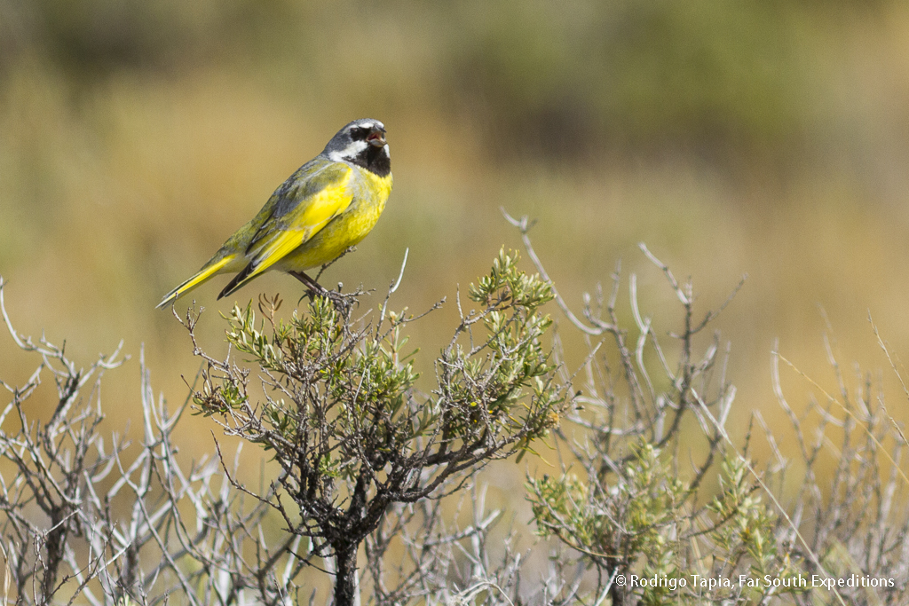 patagonian steppes birding tour - White-bridled Finch (Melanodera melanodera) © Rodrigo Tapia, Far South Exp