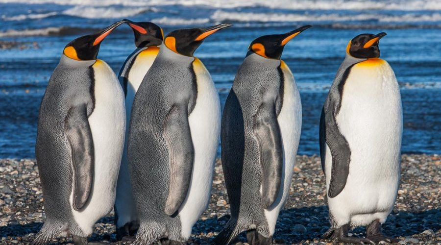 Patagonian Royalty: King Penguins in Tierra del Fuego, Chile