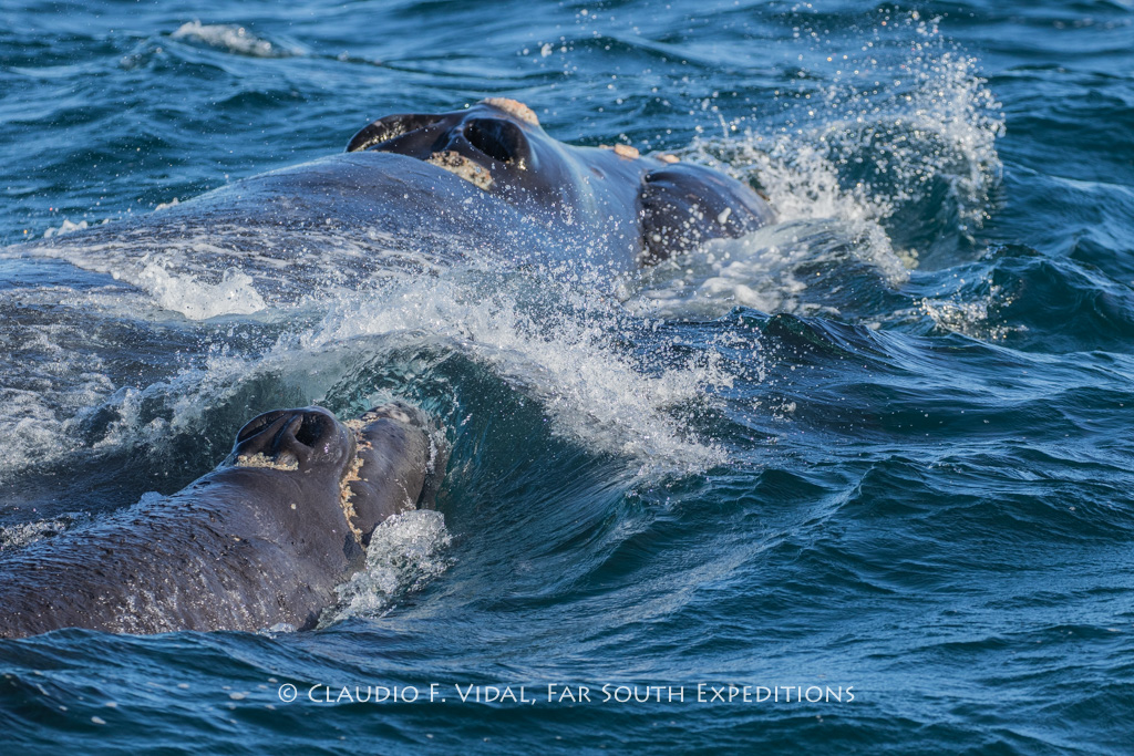 Female Southern Right Whale and calf, Valdes Peninsula, Argentina © Claudio F. Vidal, Far South Exp