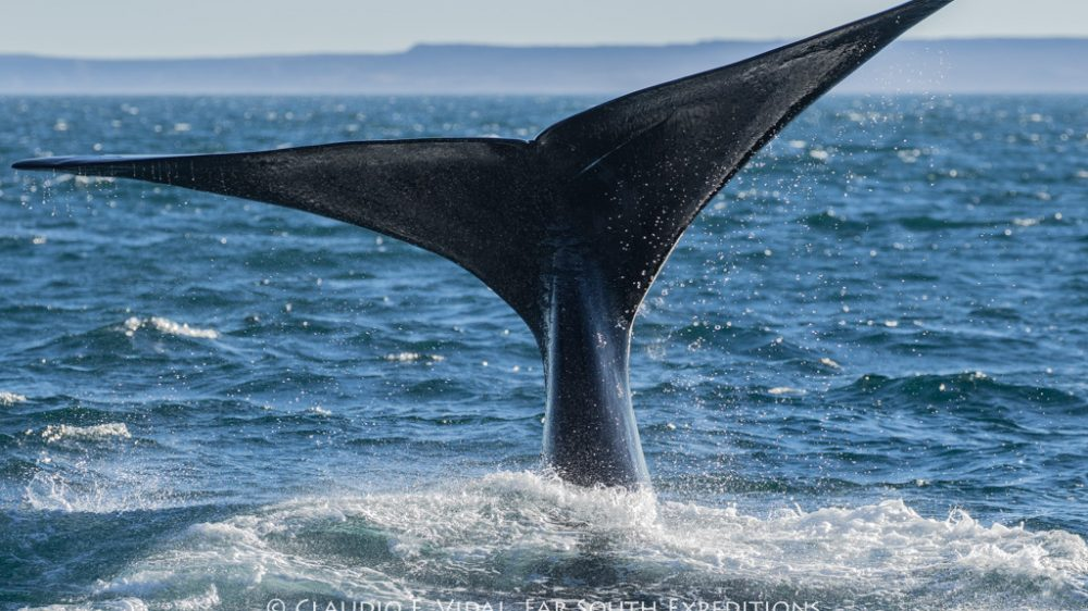 Southern Right Whale (Eubalaena australis), Valdes Peninsula, Argentina © Claudio F. Vidal, Far South Exp