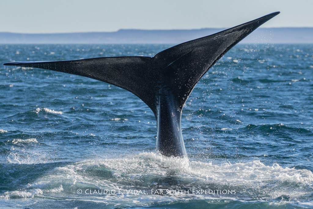 Southern Right Whale (Eubalaena australis), Valdes Peninsula, Argentina © Claudio F. Vidal, Far South Exp