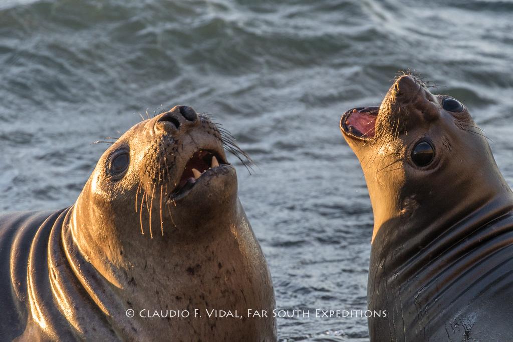 Southern Elephant Seal (Mirounga leonina), Punta Ninfas, Chubut, Argentina © Claudio F. Vidal, Far South Exp