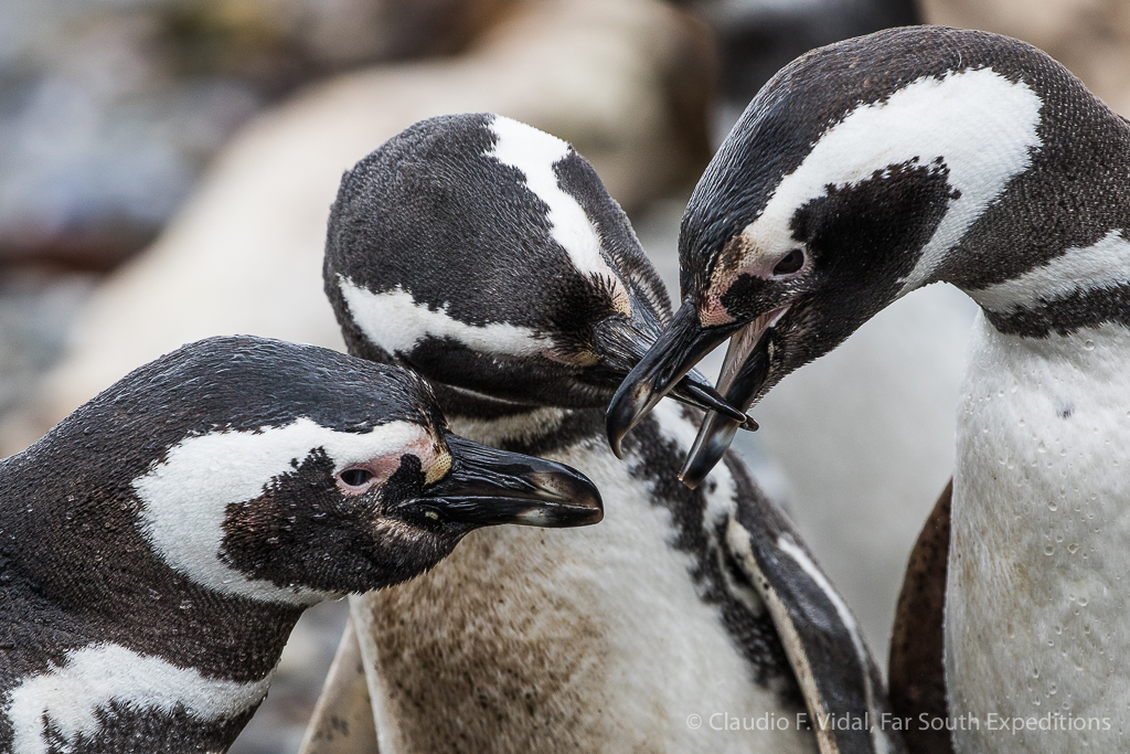 Magellanic Penguins (Spheniscus magellanicus) © Claudio F. Vidal, Far South Exp