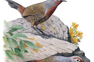 Aves de Chile, Sus Islas Oceánicas y Península Antártica – Una Guía de Campo Ilustrada