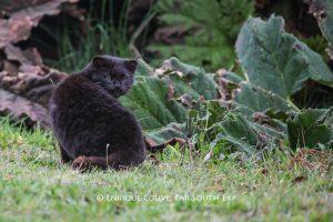 Kodkod Cat, Leopardus guigna, Chiloe Island, Chile