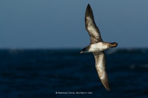 Pink-footed Shearwater, Valparaiso, Chile