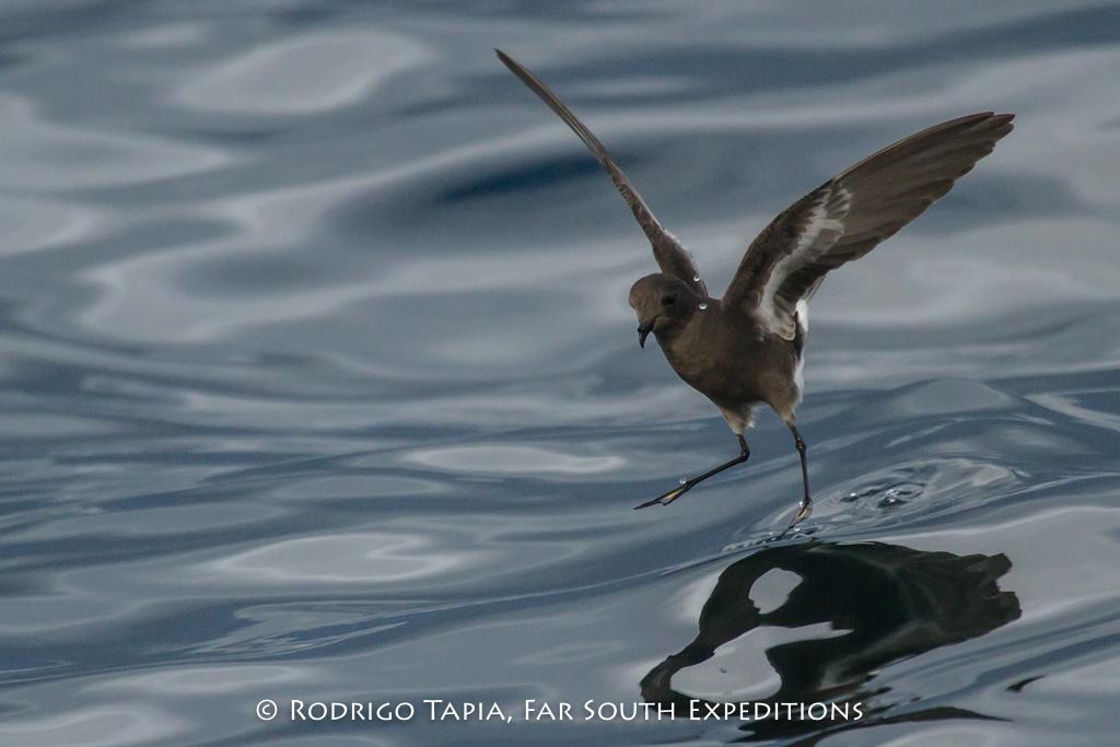 Pincoya Storm-Petrel (Oceanites pincoyae) © Rodrigo Tapia, Far South Exp