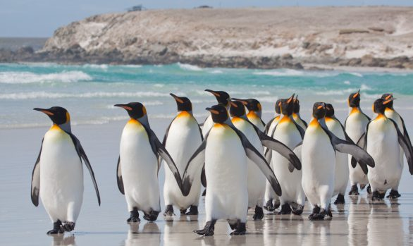 King Penguins at Volunteer Point, Falkland Islands © Enrique Couve, Far South Exp