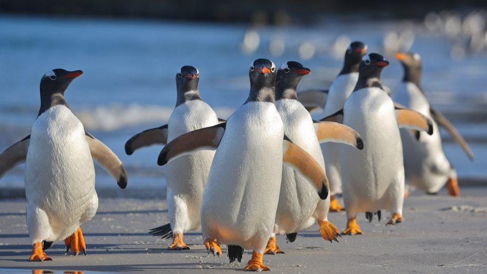 Gentoo Penguins at Sea Lion Island, Falklands/Malvinas © Enrique Couve, Far South Exp