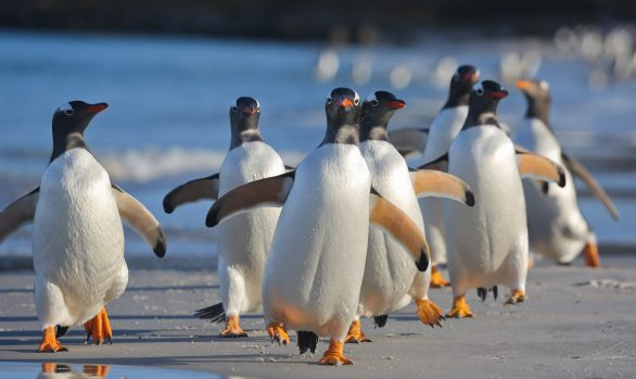Gentoo Penguins at Sea Lion Island, Falklands/Malvinas © Enrique Couve, Far South Exp
