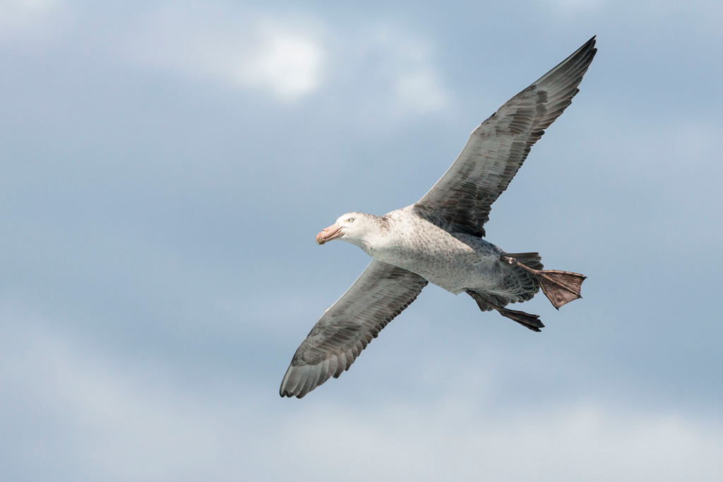 Northern Giant Petrel (Macronectes hallii) © Far South Exp, Far South Exp