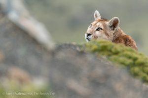 Pumas de la Patagonia: Los grandes felinos de Torres del Paine