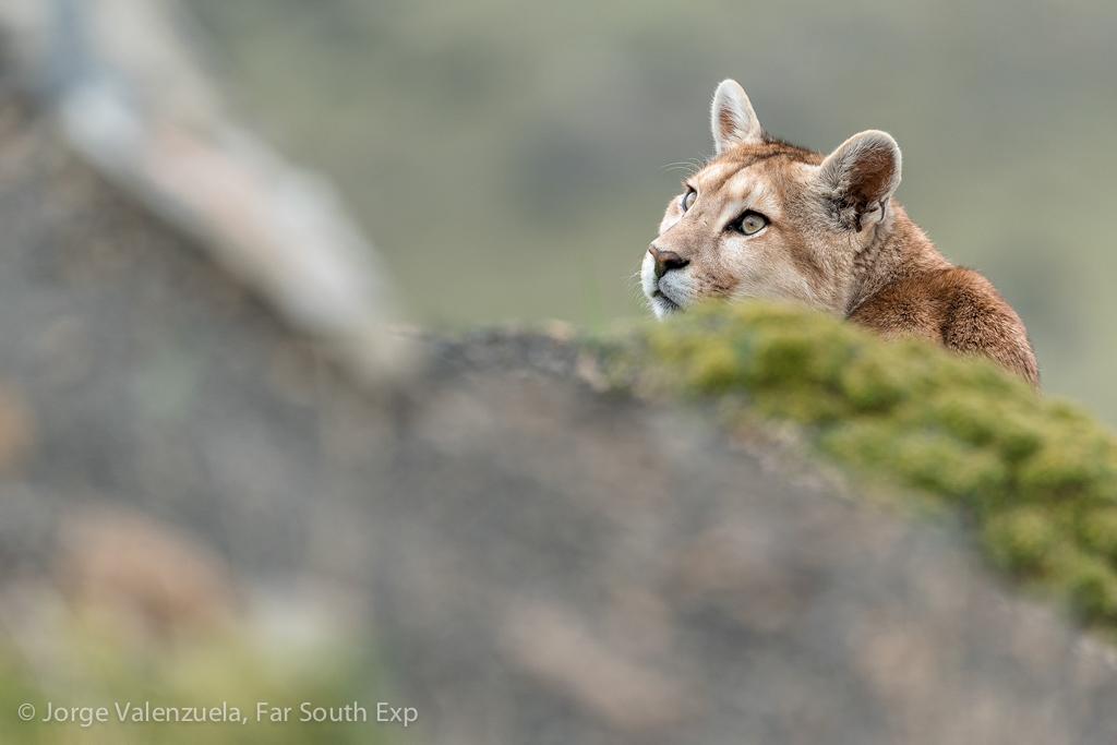 Puma, Puma concolor© Jorge Valenzuela, Far South Exp