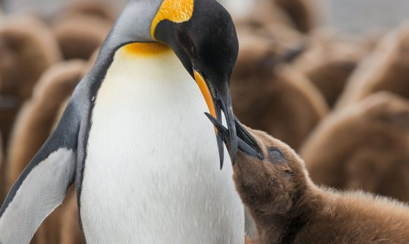 King Penguins and its chick, South Georgia © Enrique Couve, Far South Exp