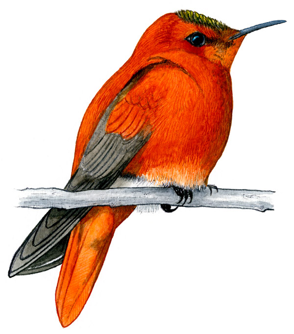 Juan Fernandez Firecrown (Sephanoides fernandensis) by bird artist and field ornithologist Jorge Ruiz T. © FS Editorial