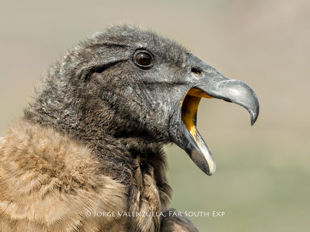 Juvenile Condor (Vultur gryphus), Farellones, Chile © Jorge Valenzuela, Far South Exp