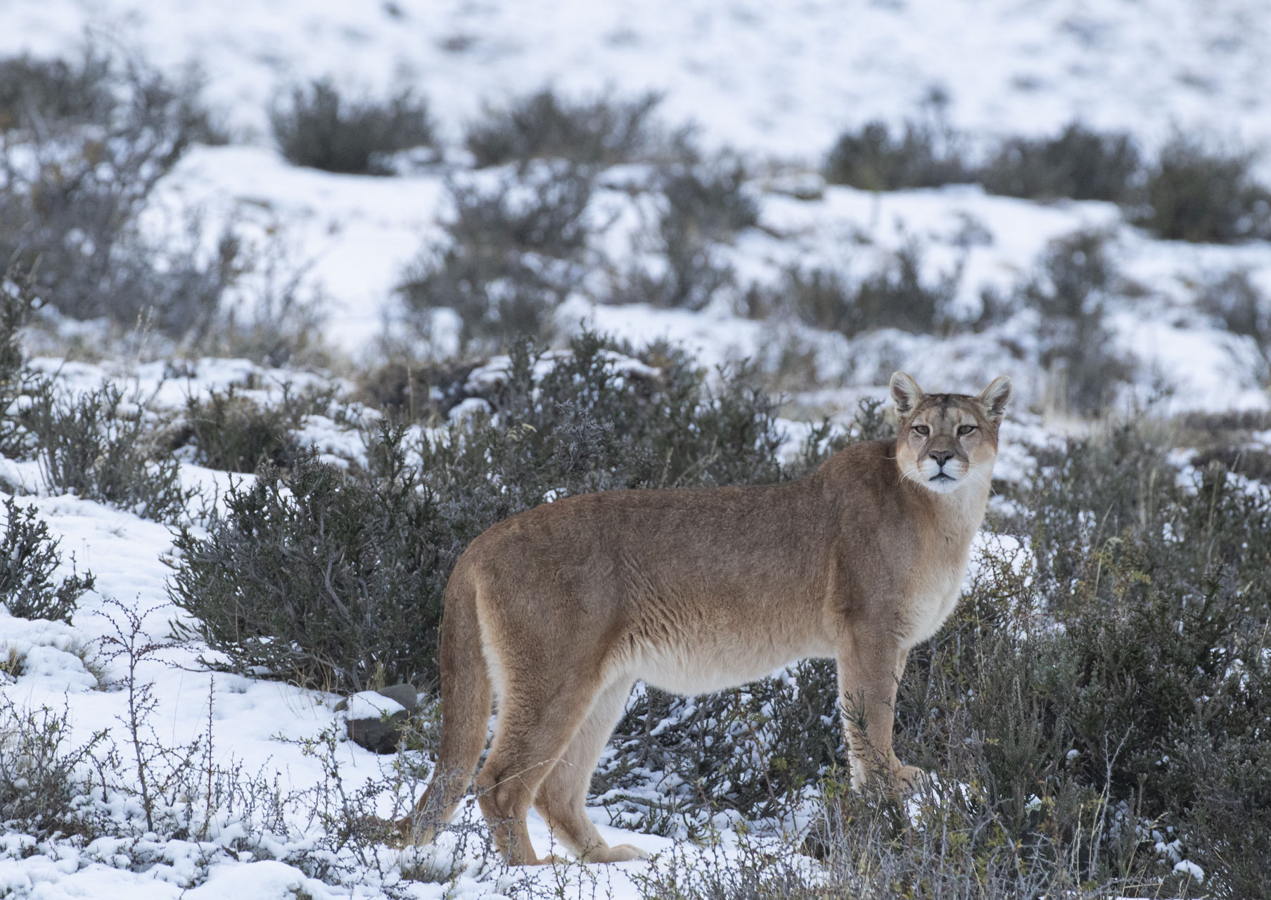 Fragante Rico amenaza  PUMAS IN SNOWY PATAGONIA | Far South Expeditions