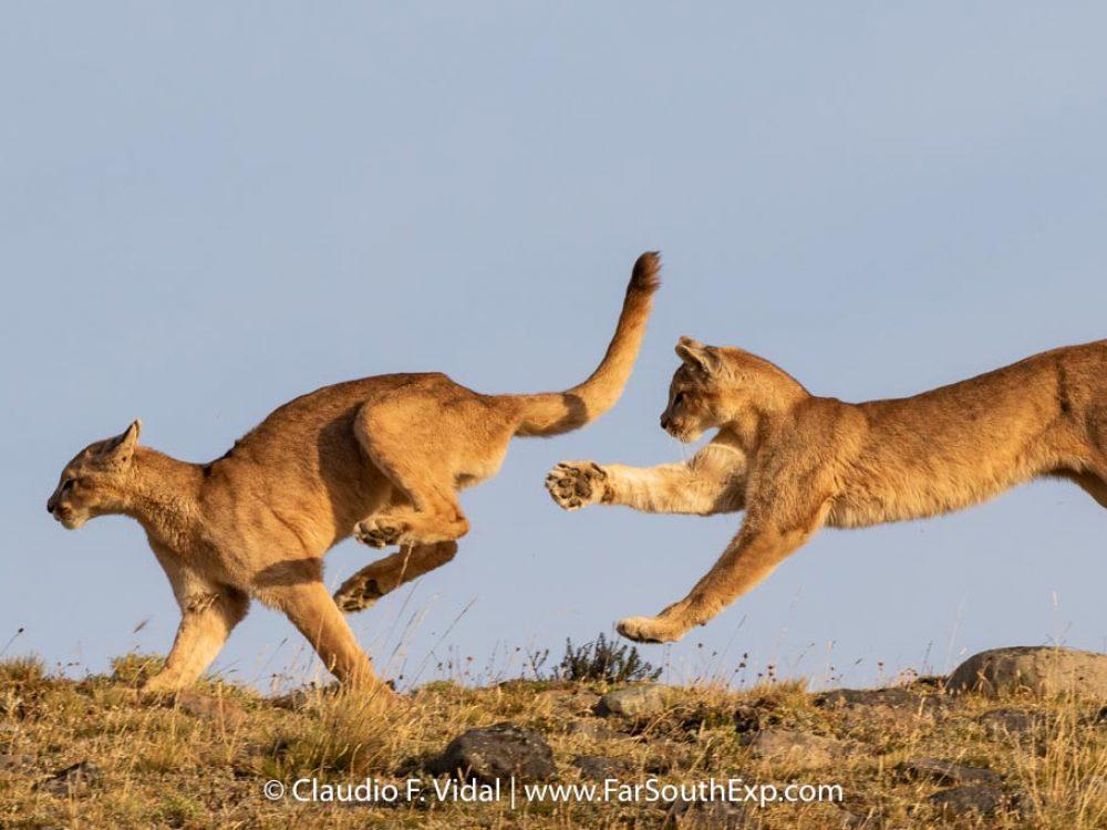 puesto liderazgo Indígena  Puma tracking tours | Pumas of Torres del Paine | Far South Exp
